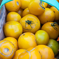 A basket of 'Yellow Perfection' heirloom tomatoes