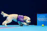 Hattie the balldog runs for a ball.<br /> Ball dogs step onto the court at the Royal Albert Hall for the first time in UK history during this year's Champions Tennis event in association with Skinner's Pet Food, with dogs provided by Canine Partners. <br /> During the Champions Tennis match at the Royal Albert Hall, London, United Kingdom on 6 December 2018. Picture by Ian Stephen.