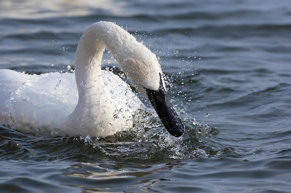 Trumpeter Swan, Cygnus buccinator, bathing, Hamilton, Ontario, Canada