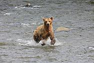 An Alaskan Brown bear running in the Brooks River at Katmai National Park.