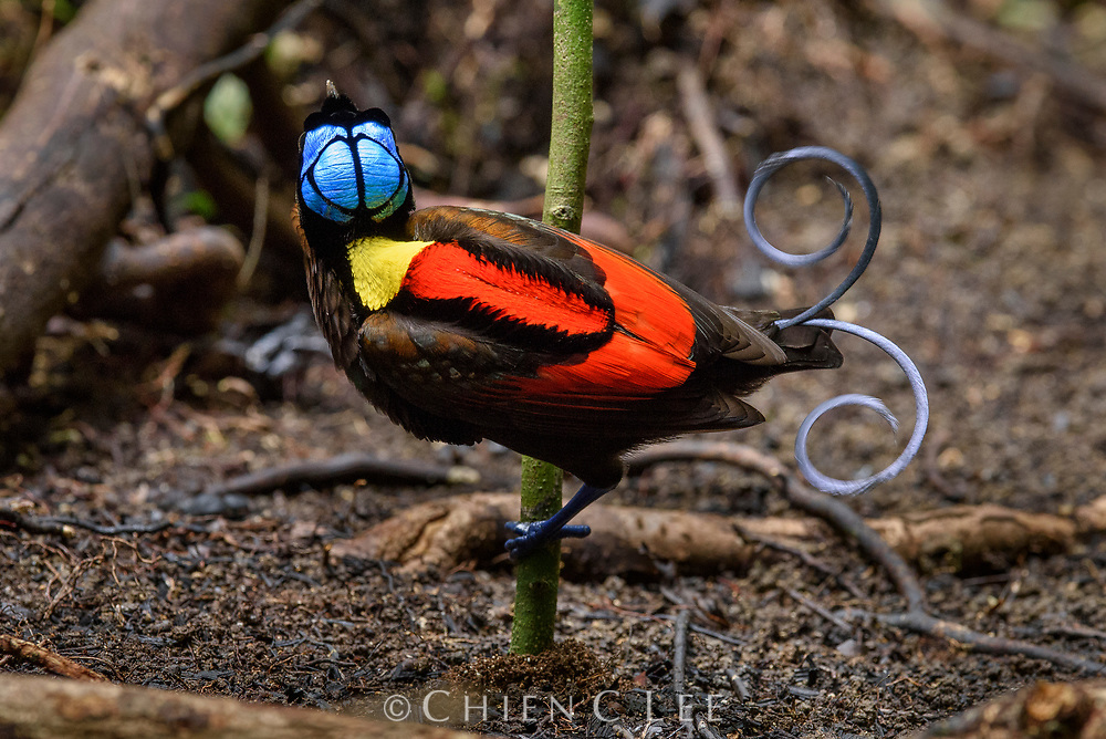 With his otherworldly plumage a male Wilson's Bird-of-paradise (Cicinnurus respublica) shows off his gaudy colors at a dancing ground he has cleared on the forest floor. Endemic to only two islands off the western coast of New Guinea, Wilson's BoP is surely one of the most bizarre in a family of birds already renowned for their exotic appearances.