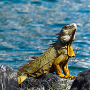 Caribbean Iguana ready for the camera!<br />