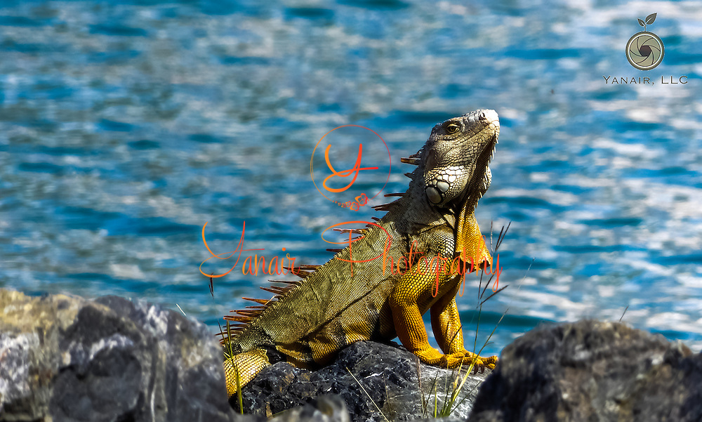 Caribbean Iguana ready for the camera!<br /> <br /> Taken in St. Croix USVI<br /> <br /> Please select Shopping Cart Below to Purchase prints and gallery-wrapped canvases, magnets, t-shirts and other accessories