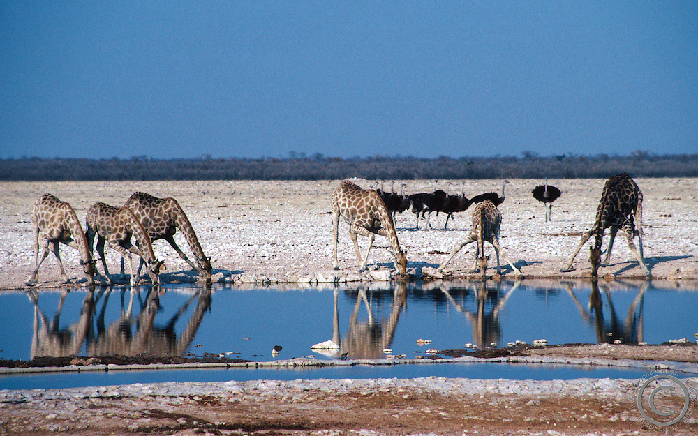 Six giraffes bend down to take a drink at an Etosha National Park waterhole while a flock of ostriches looks on.