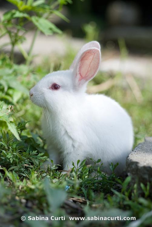 Family farm, baby rabbit, bunny on small sustainable family farm in Hillsdale, Columbia County, NY, New York
