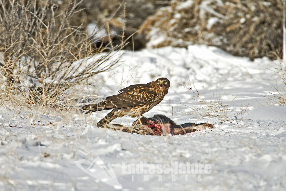 After a snowstorm this Northern Harrier takes advantage of a rabbit that eagles caught earlier to feed on.