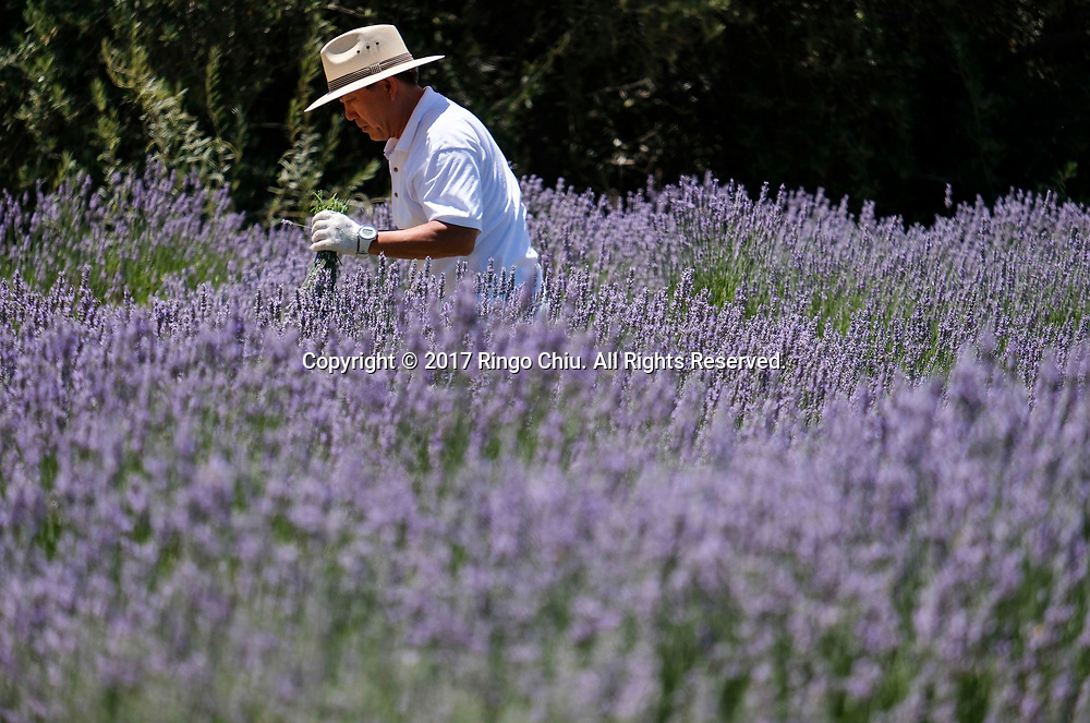 A worker harvests lavender in the fields at 123 Farm in Cherry Valley during the 13rd Annual Lavender Festival in Riverside, California, June 17, 2017.(Photo by Ringo Chiu)<br /> <br /> Usage Notes: This content is intended for editorial use only. For other uses, additional clearances may be required.