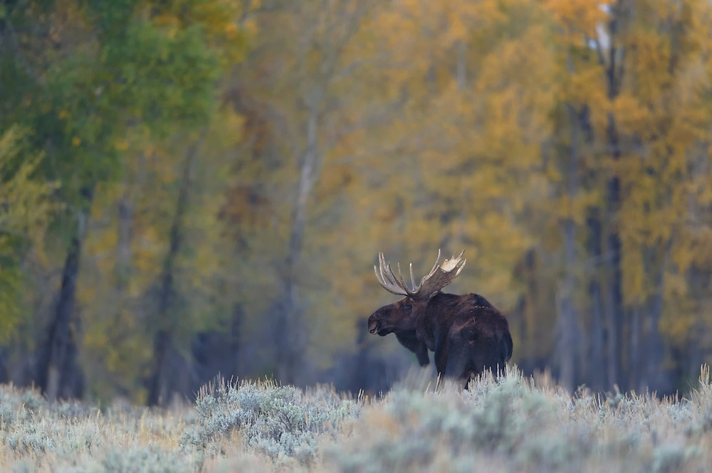 A bull moose (Alces alces) stands in front of Cottonwoods, Grand Teton National Park, Wyoming