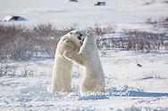 01874-13403 Polar Bears (Ursus maritimus) sparring, Churchill Wildlife Management Area, Churchill, MB