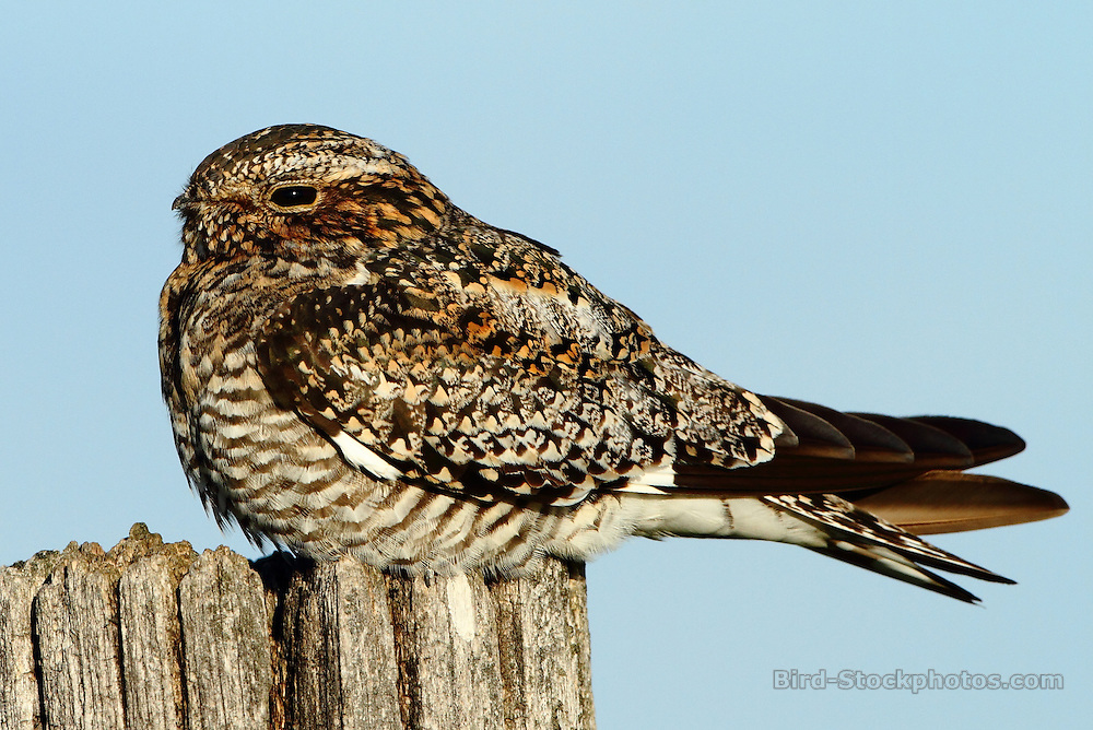Common Nighthawk, Chordeiles minor, perched on a post, Canada, by Markus Lilje