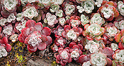 Sedum spathulifolium / Pacific Stonecrop.  Sedum is a large family of hardy succulents commonly known as stonecrop.  Many Sedum varieties have the necessary characteristics for ecoroofs, namely adaptability to harsh growing conditions, need for minimal maintenance and irrigation, ability to grow in shallow soil depths, and ability to establish and spread quickly.