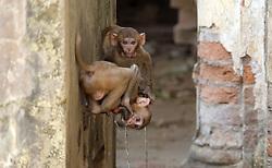May 3, 2019 - Allahabad, Uttar Pradesh, India - Allahabad: Monkey drink water from a tap on a hot day in Allahabad on Friday, May 03, 2019. (Credit Image: © Prabhat Kumar Verma/ZUMA Wire)
