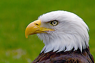 Mature Bald Eagles are found in high numbers in Western States like Washington, Oregon, Idaho, Montana, Wyoming, and especially Alaska. They are also found as far South and East as Florida.
