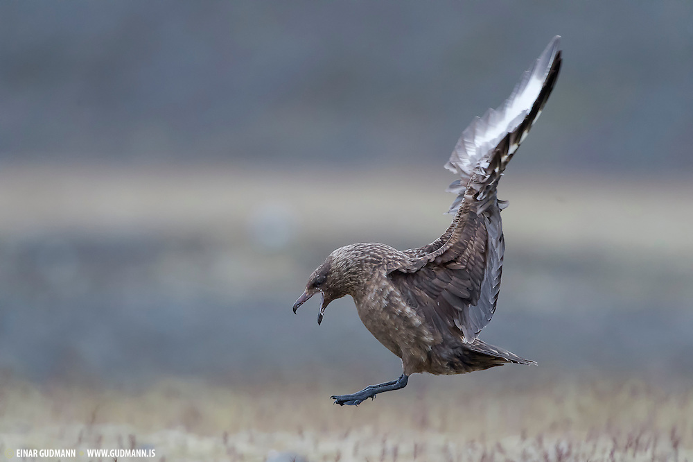 The Great Skua, Stercorarius skua, is a large seabird in the skua family Stercorariidae. In Britain, it is sometimes known by the name Bonxie, a Shetland name of unknown origin.<br /> This bird eats mainly fish, which it often obtains by robbing gulls, terns and even Northern Gannets of their catches. It will also directly attack and kill other seabirds, up to the size of Great Black-backed Gulls. Like most other skua species, it continues this piratical behaviour throughout the year, showing less agility and more brute force than the smaller skuas when it harasses its victims.