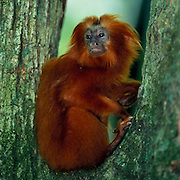 Goldenes Löwenäffchen | Golden Lion Tamarin -  (Leontopithecus rosalia) Wild animals in their natural habitat - no digitally manipulation!