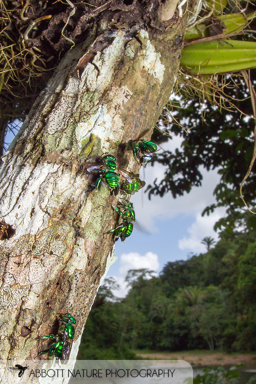 Orchid Bee (Euglossa sp.)<br /> BELIZE: Cayo District <br /> Ian Anderson's Caves Branch Lodge near Armenia<br /> 7-Sep-2014<br /> J.C. Abbott &amp; K.K. Abbott