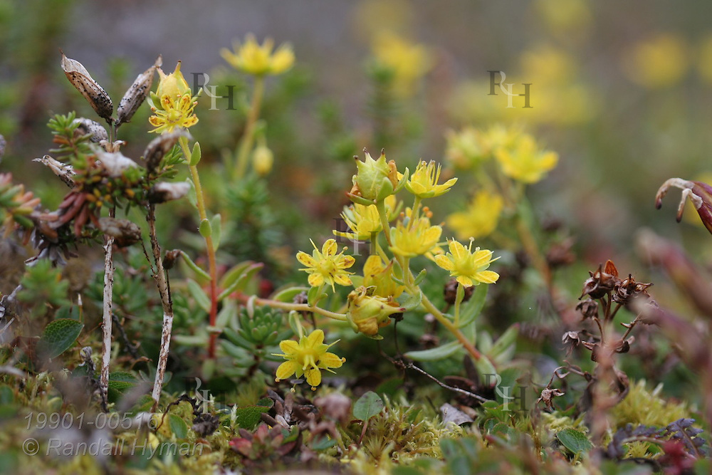 Yellow mountain saxifrage brightens autumn tundra at Eqalugssuit on the west coast of Greenland.