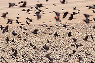 Wawayanda, New York - A large flock of red-winged blackbirds  on March 28, 2015.