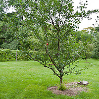 Apple tree with a red sticky ball insect trap.