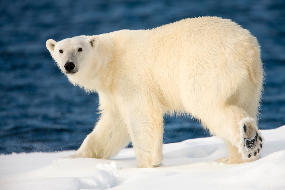 Norway, Svalbard, Spitsbergen Island, Polar Bear (Ursus maritimus) walking on snow-covered iceberg along northern coastline
