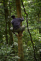 Halmahera villager climbing a tree using a foot strap made from rattan.