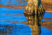 Sky and Cypress tree trunk reflected in Lake Mattamuskeet shortly after sunrise.