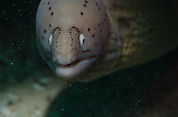 Snooted light shot of a peppered moray peering out from its hole.