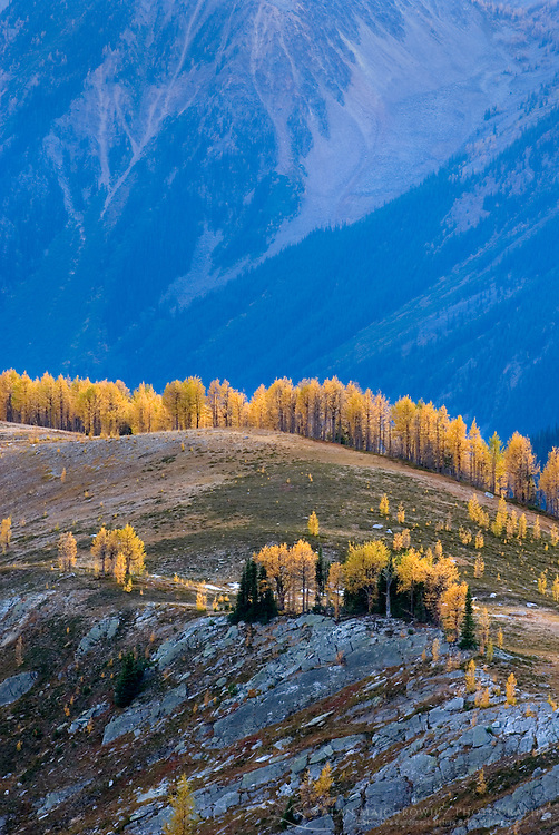 Alpine larches (Larix lyallii) in autumn foliage on slopes of the Purcell Mountains British Columbia