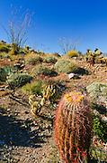 Barrel cactus and ocotillo in Plum Canyon, Anza-Borrego Desert State Park, California USA