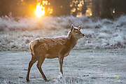 UNITED KINGDOM, London: 18 January 2017 A young red deer stands amongst a frosty Richmond Park during sunrise this morning. Temperatures dropped to -4C in certain parts of the capital last night causing wide spread frost. Rick Findler / Story Picture Agency