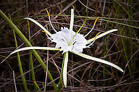 Alligator Lily in the Big Cypress National Preserve. These are very common in summer when the prairies are completely flooded in the middle of the wet season.