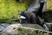 An adult American black bear climbs out of the water after grabbing a spawning salmon at Anan Creek in the Tongass National Forest, Alaska. Anan Creek is one of the most prolific salmon runs in Alaska and dozens of black and brown bears gather yearly to feast on the spawning salmon.