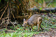 Red-legged Pademelon in rainforest, Daintree,  Queensland, Australia