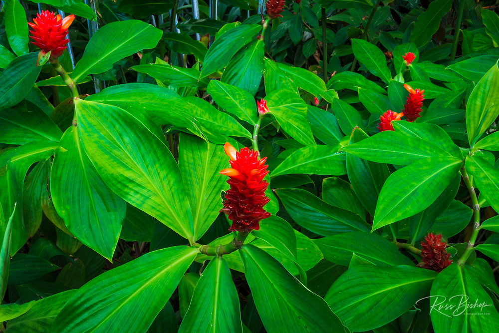 Red ginger at Hawaii Tropical Botanical Garden, Hamakua Coast, The Big Island, Hawaii USA