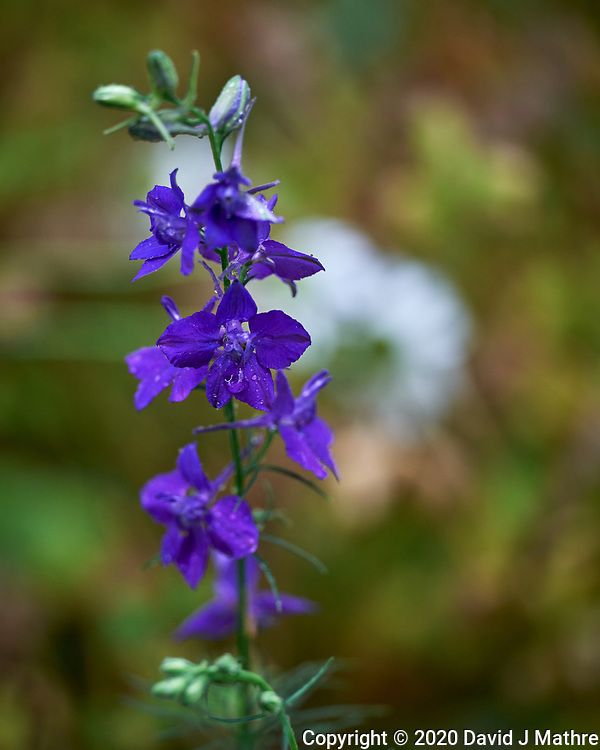 Larkspur/Delphinium. Image taken with a Leica SL2 camera and 90-280 mm lens