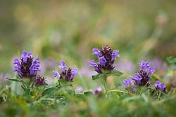 Self-heal growing in the wild. Prunella vulgaris