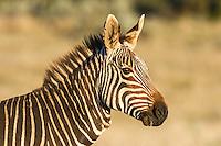 Cape Mountain Zebra stallion , Gondwana Game Reserve, Western Province, South Africa