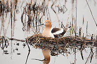 Early May 2016 and nesting has started for the American Avocet at the Bear River Bird Refuge in northern Utah.