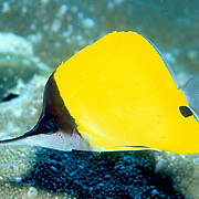 Big Longnose Butterflyfish inhabit reefs. Picture taken Fiji.