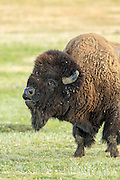 Enormous bull bison (buffalo) in light rain on the prairie