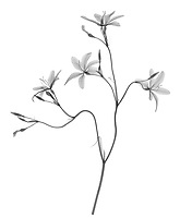 X-ray image of a candy lily bloom (Iris norrisii, black on white) by Jim Wehtje, specialist in x-ray art and design images.