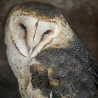 A barn owl named Moon peers out from his enclosure at the Navajo Nation Zoo in Window Rock Wednesday.