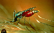 Research on Malaria, World Health Organisation/Institut Pasteur. Female mosquito with body swollen with blood of person she has bitten.  It is at this stage that the Malaria parasite is passed to the victim.