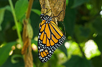 Monarch Butterfly (Danaus plexippus), Costa Rica Image by Andres Morya