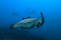 Cocos Island Delight--Marbled Ray, Whitetip Reef Shark, and Scalloped Hammerhead Sharks