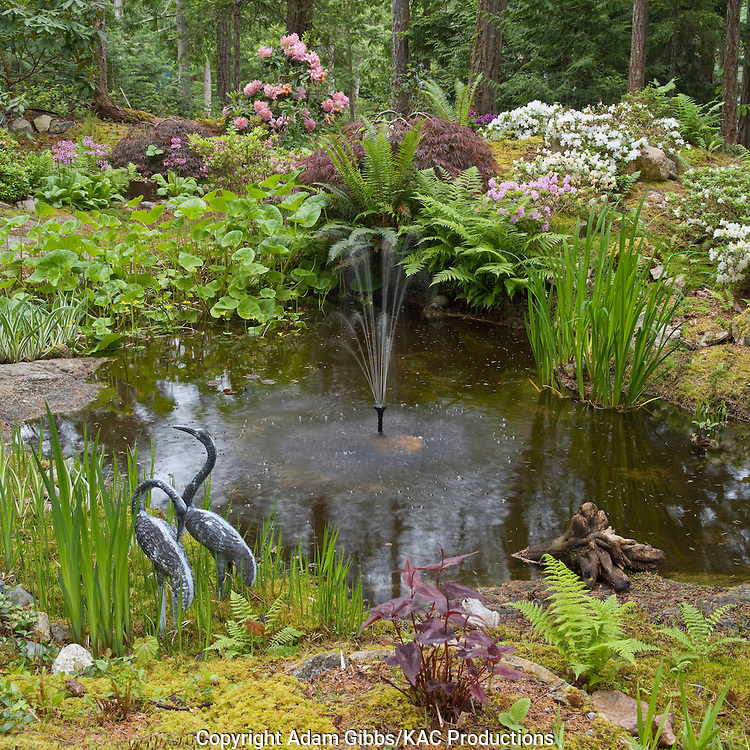 woodland pond surounded by Rhododendrons