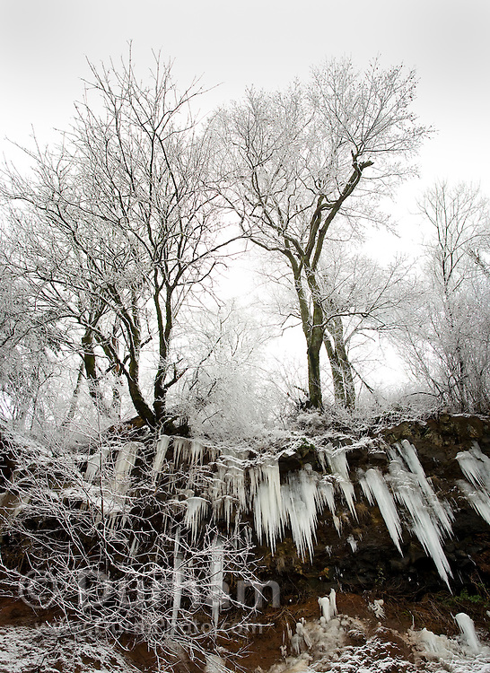 Oak trees during a winter ice storm in Columbia River Gorge National Scenic Area, Oregon.