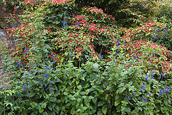 Salvia guaranitica 'Blue Enigma' AGM with the berries of Viburnum plicatum 'Pink Beauty' at Sissinghurst Castle