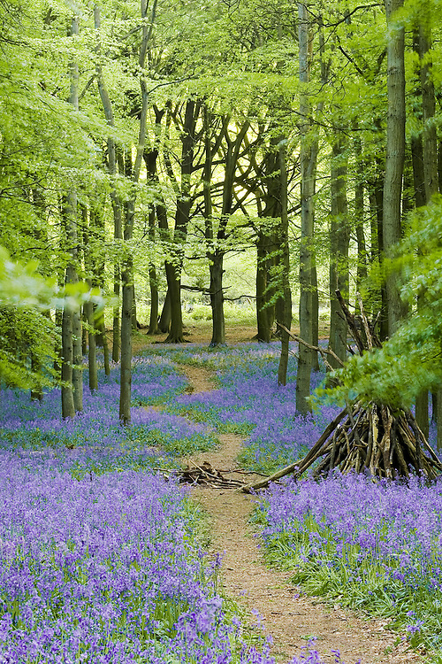 Bluebells growing in Ashridge forest