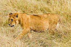 Lioness at Masai Mara (also spelled Maasai Mara), a large park reserve in south-western Kenya / Leoa na Reserva Nacional Masai Mara, o mais famoso parque nacional do Quenia,  situado no enorme Vale do Rift.